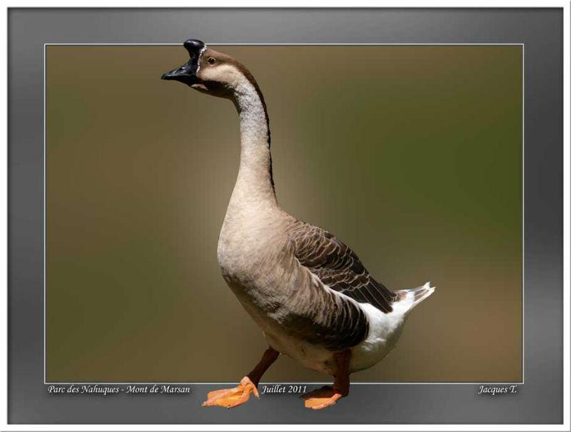 Monde Animal Oiseaux Ansériformes Oie