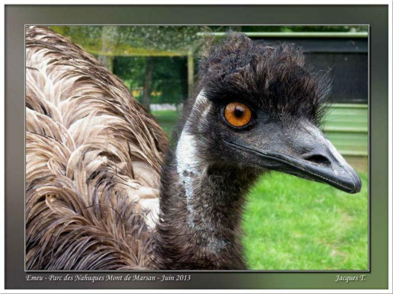 Monde Animal Oiseaux Emeus