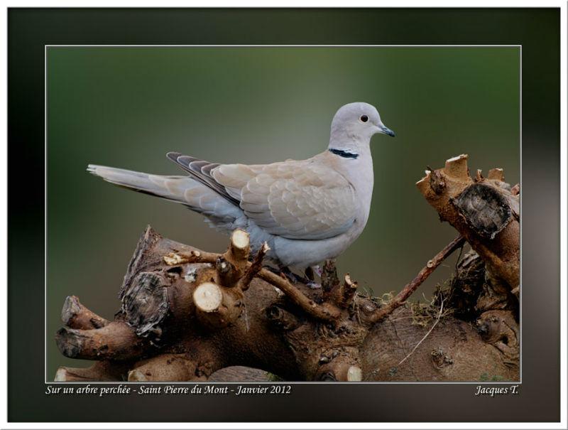 images d'oiseaux columbiformes du monde animal