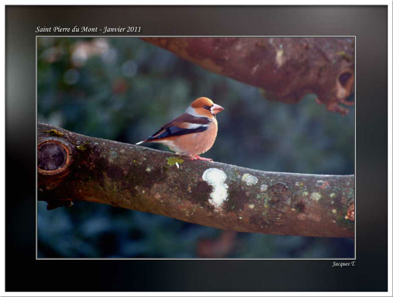 Monde Animal Oiseaux Passériformes Fringilidés Gros bec casse noyaux