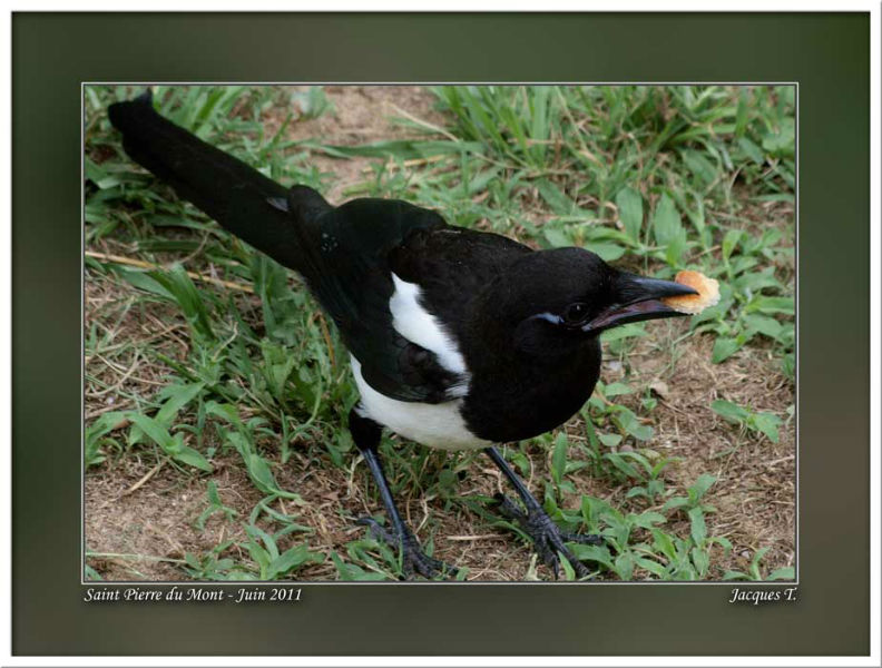 Monde Animal Oiseaux Passériformes Paridés Mésange Pie bavarde
