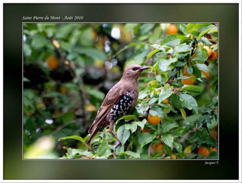 Monde Animal Oiseaux Passériformes Sturnidés Etourneau Sansonnet