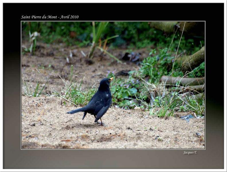 Monde Animal Oiseaux Passériformes Turdidés Merle