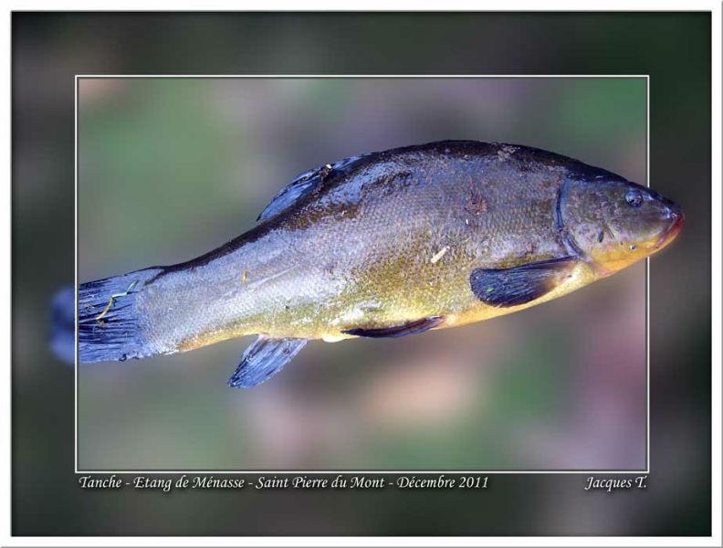 Monde Animal Poissons de rivière Brochet
